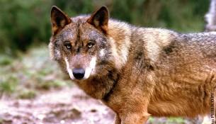 lobo iberico viana do castelo
